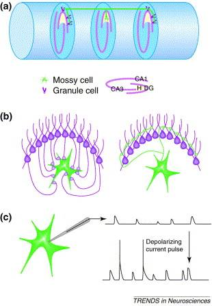 Linking mossy brain cells to seizures and memory loss
