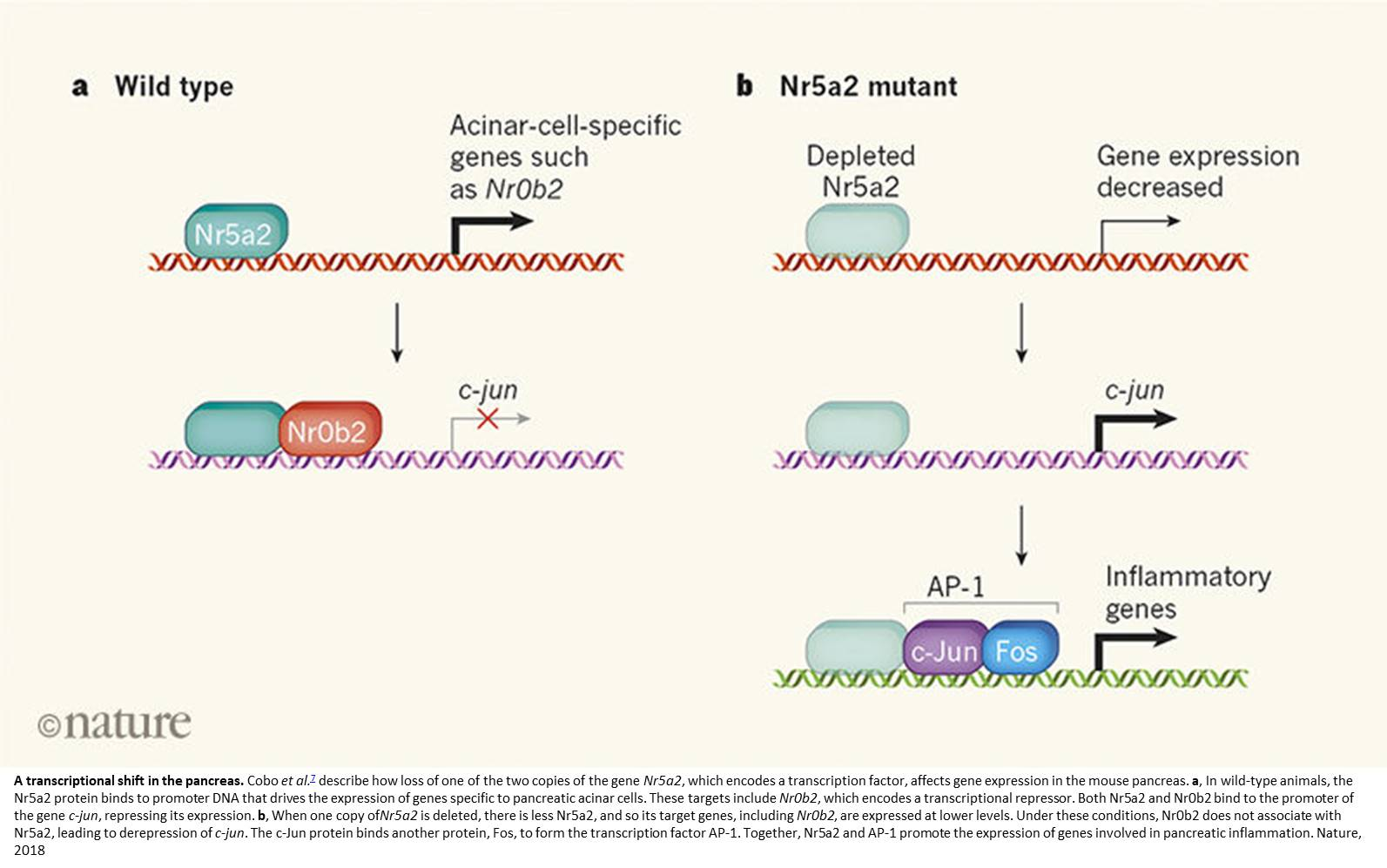 Role of an inflammation gene in cancer development