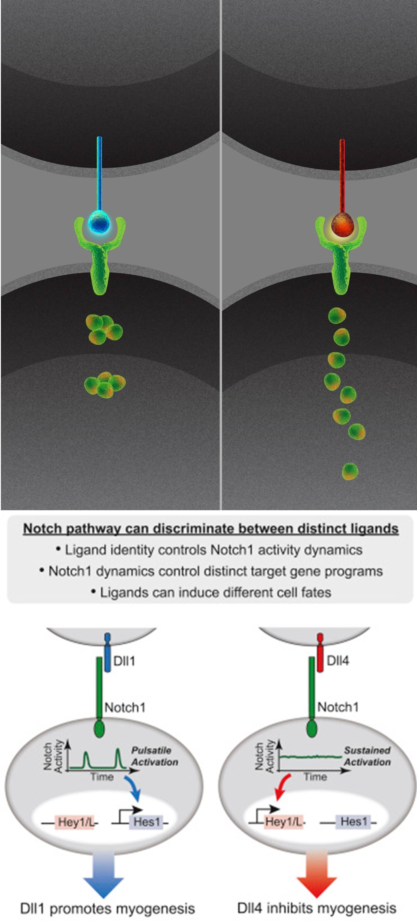 How cells discriminate ligands through dynamic signaling
