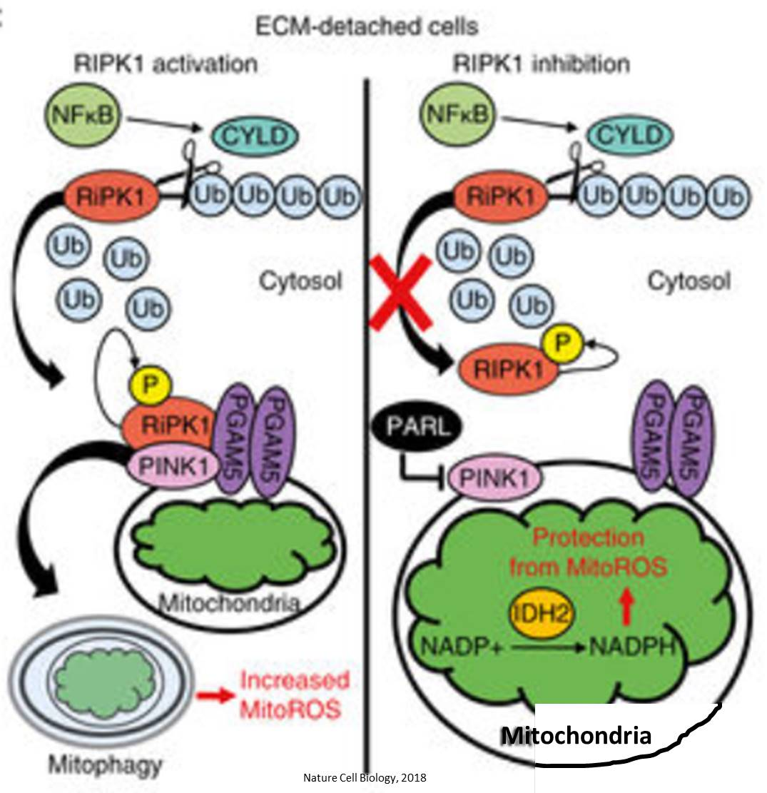 Novel mechanism linking changes in mitochondria to cancer cell death
