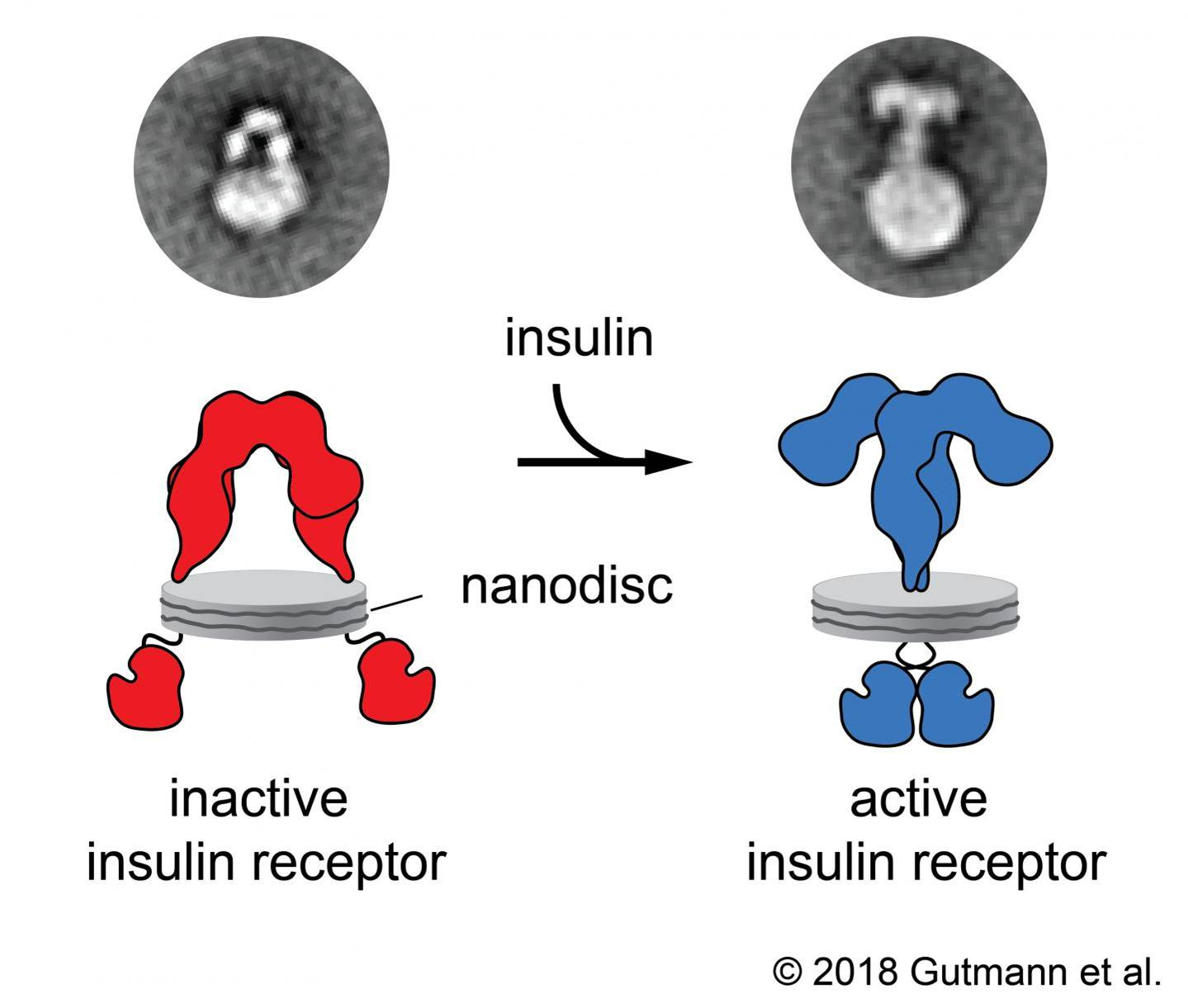 How the insulin receptor works