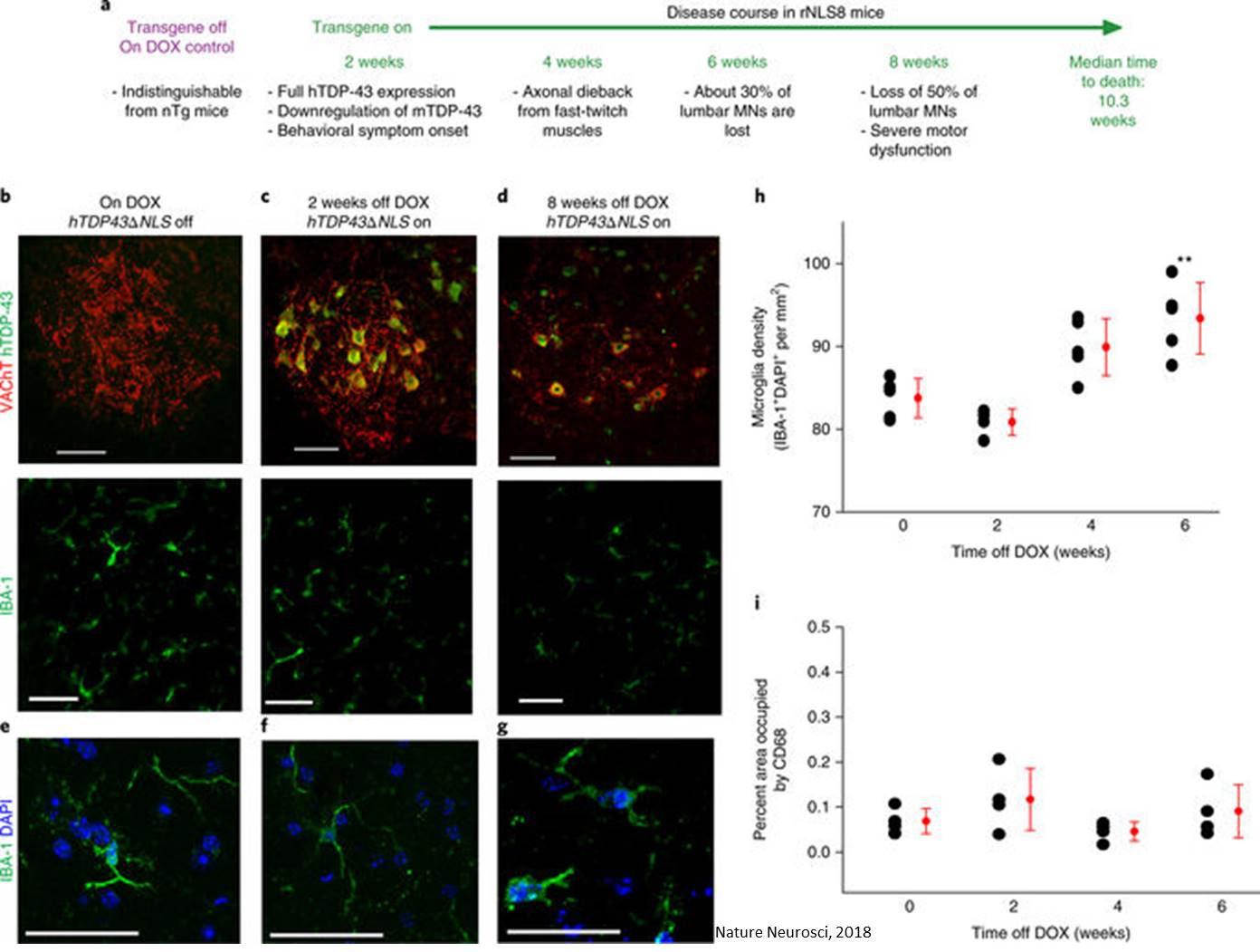 Microglia exert neuroprotective functions in ALS model