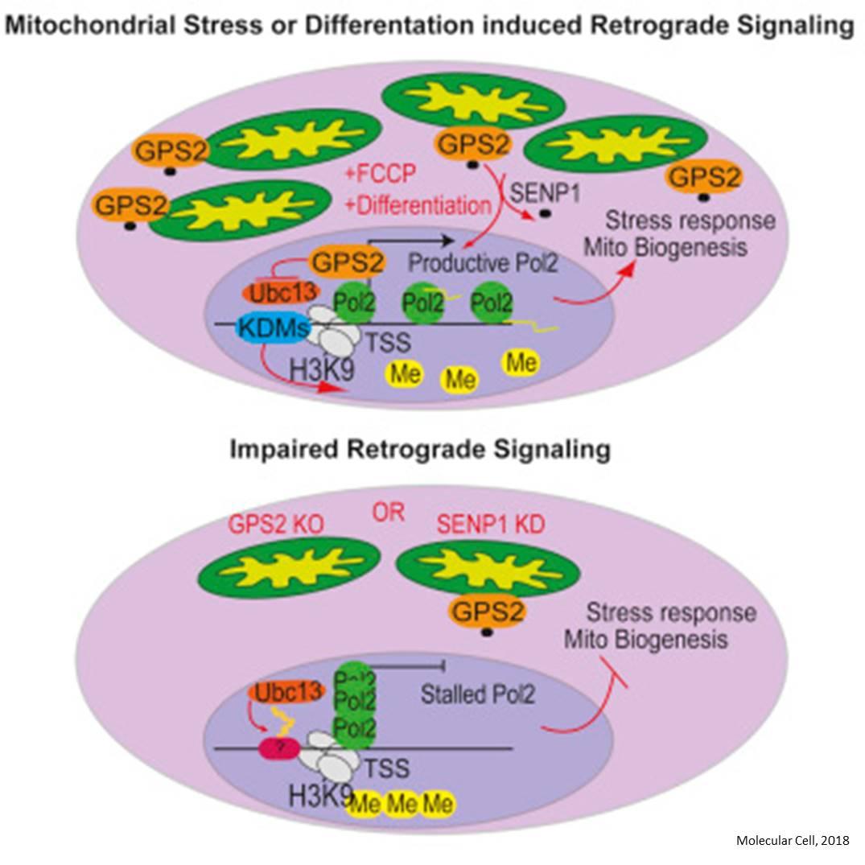 Mitochondria-to-nucleus messenger protein