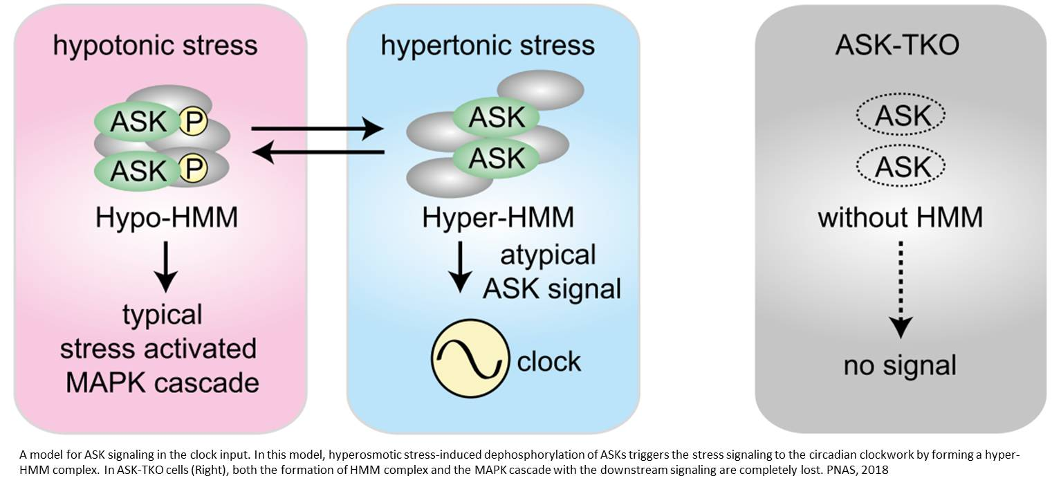 Genes linking cellular stress to circadian rhythm identified!