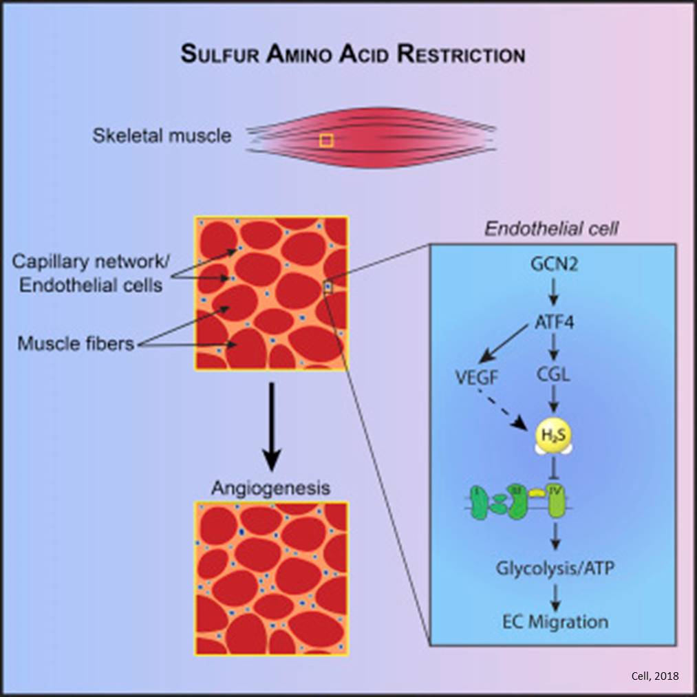 Sulfur amino acid restriction diet triggers new blood vessel formation in mice