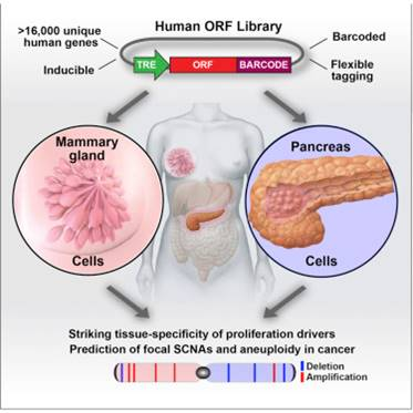 Different tissues show variable sensitivities to cancer-driving genes