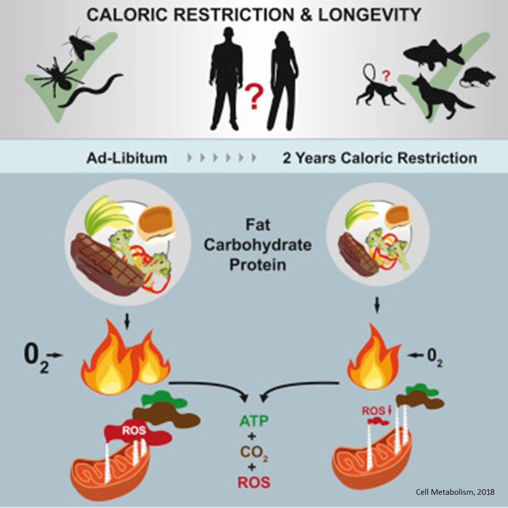 Early human clinical trial with calorie restriction show benefits for age related diseases