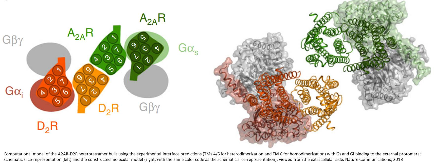 Pre-assembled GPCR macromolecular complex detected in cells