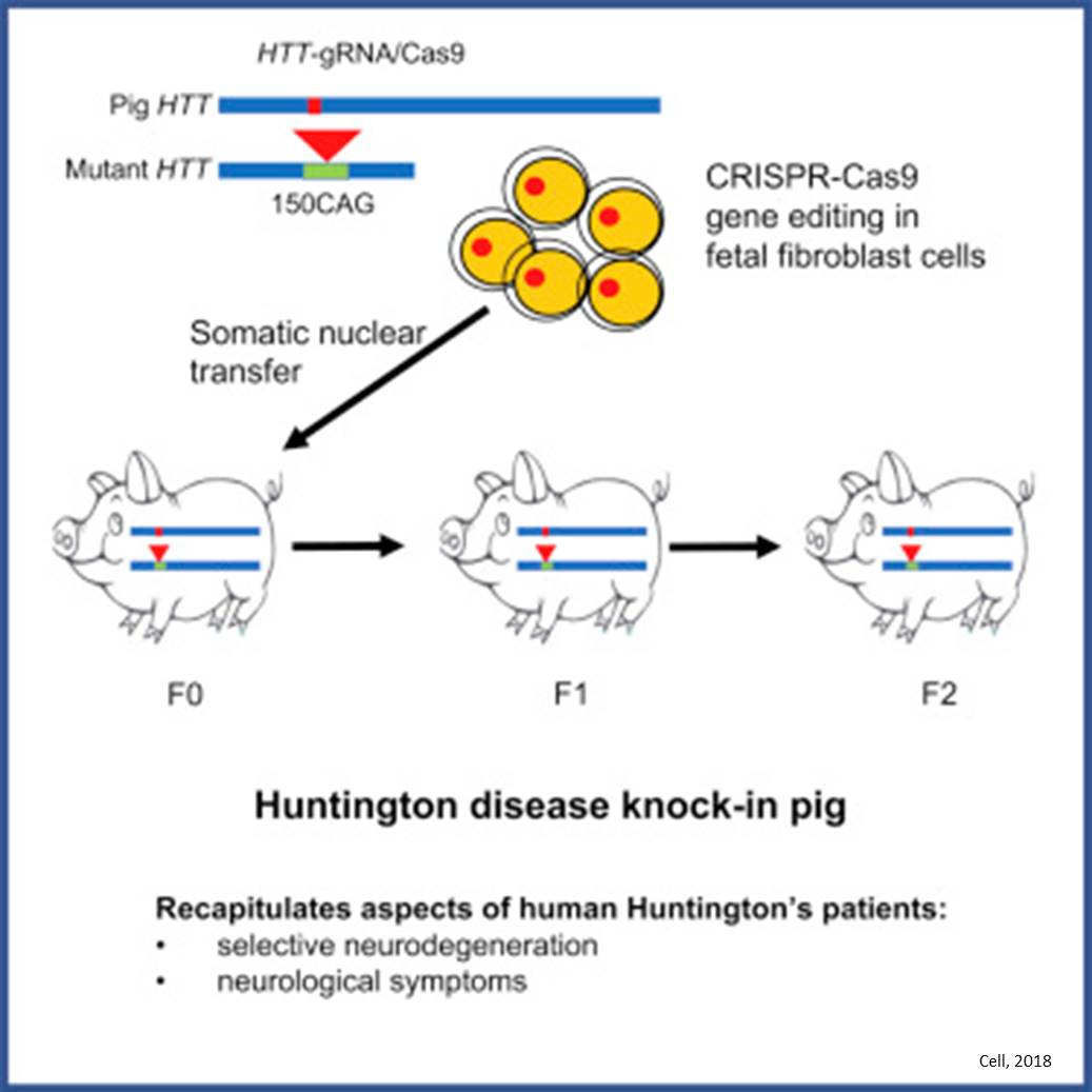 Pig model of Huntington's mimic human disease