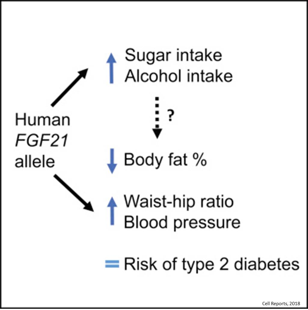 Gene that makes humans eat more sugar can also lower body fat