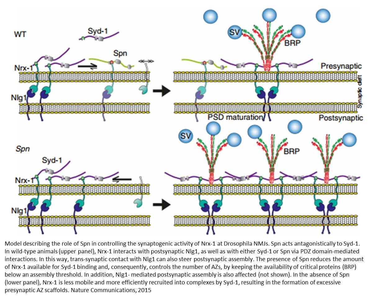 Controlling synaptic transmission