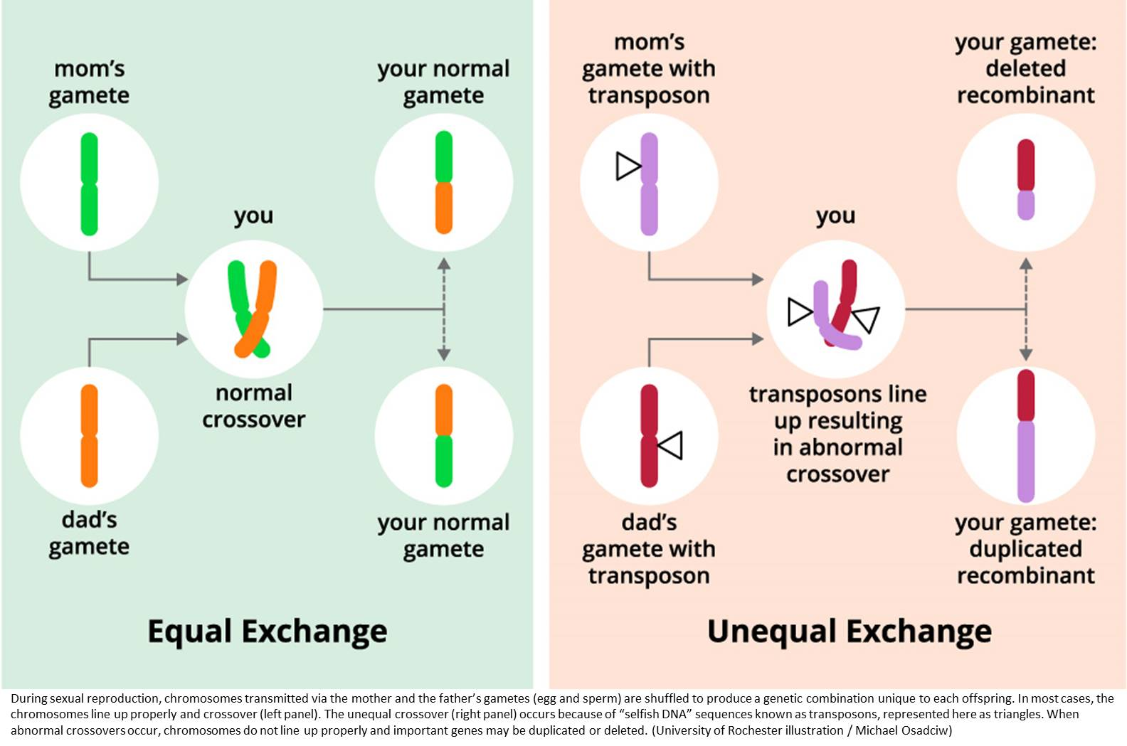 Gene controlling genetic recombination rates discovered