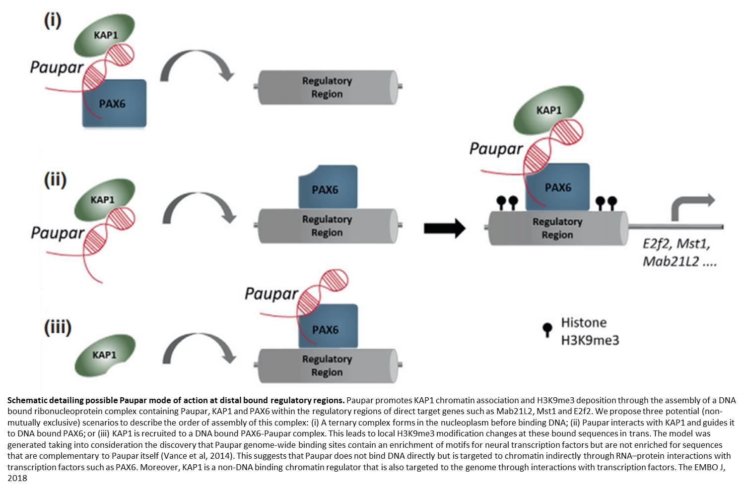 Non-coding RNA in brain development
