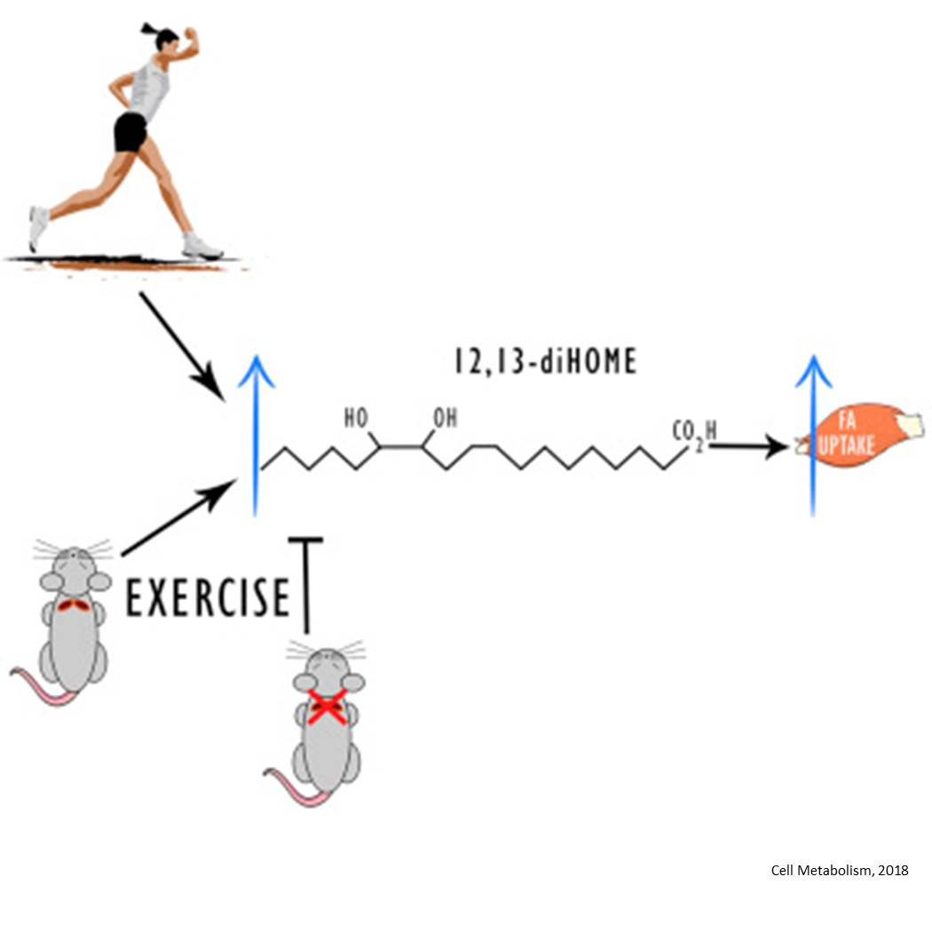 Exercise and cold release same hormone from fat to boost metabolism