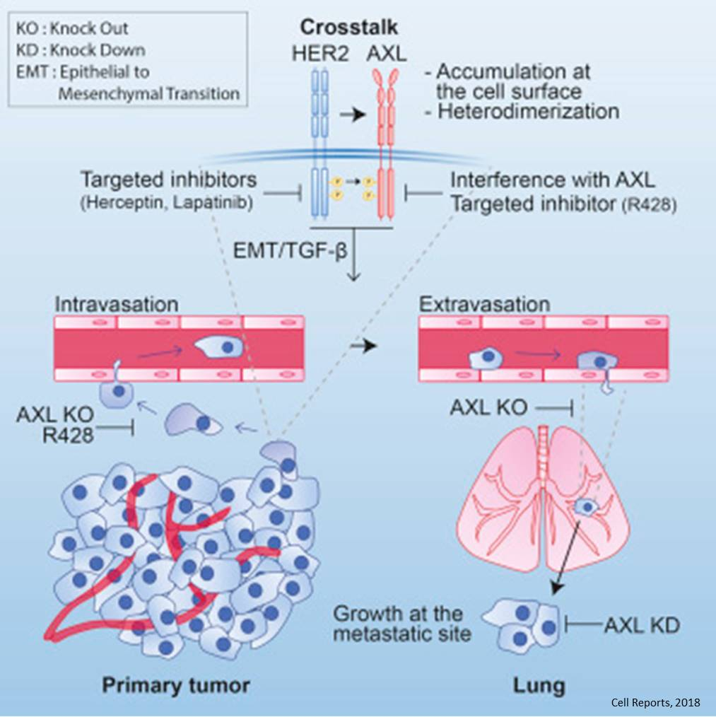A receptor tyrosine kinase in HER+ breast cancer metastasis