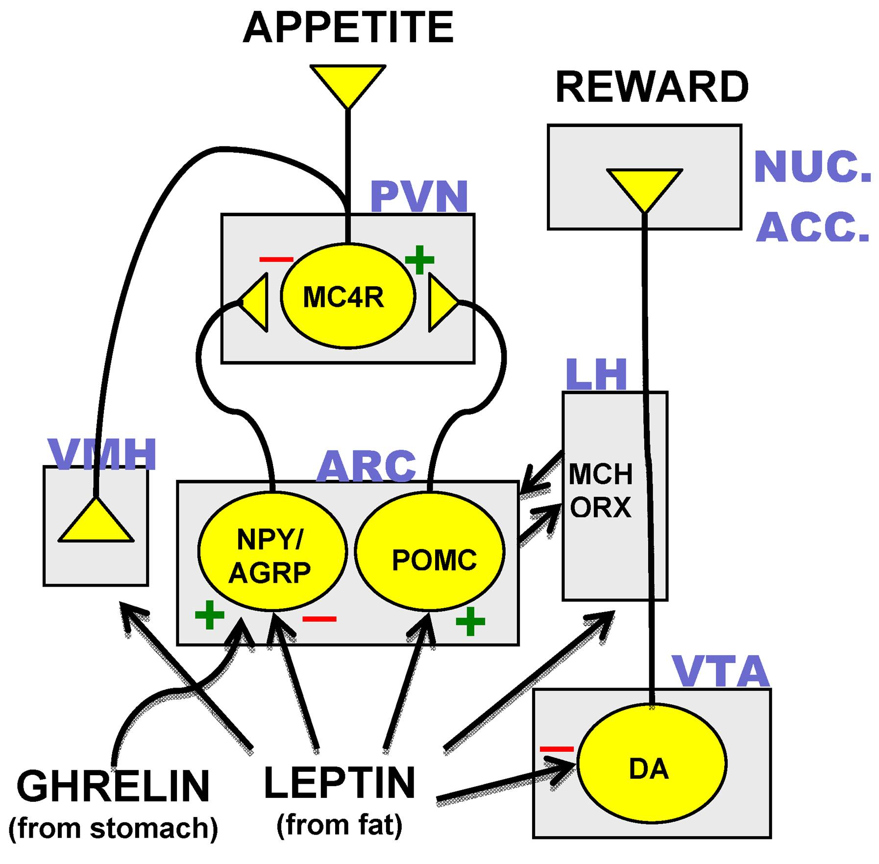 Activating melanocortin receptors to treat patients with genetic obesity