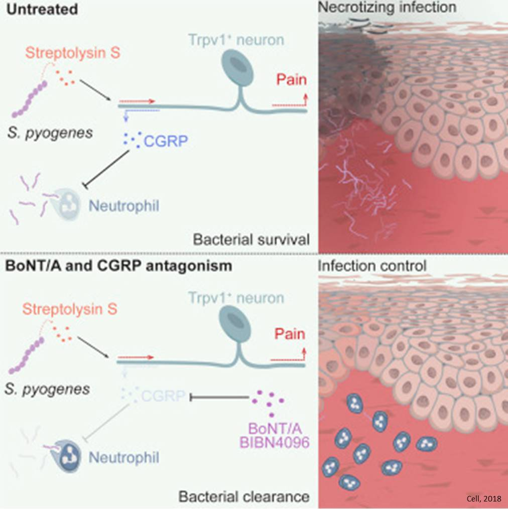 Blocking Neuronal Signaling to Immune Cells Treats Streptococcal Infection