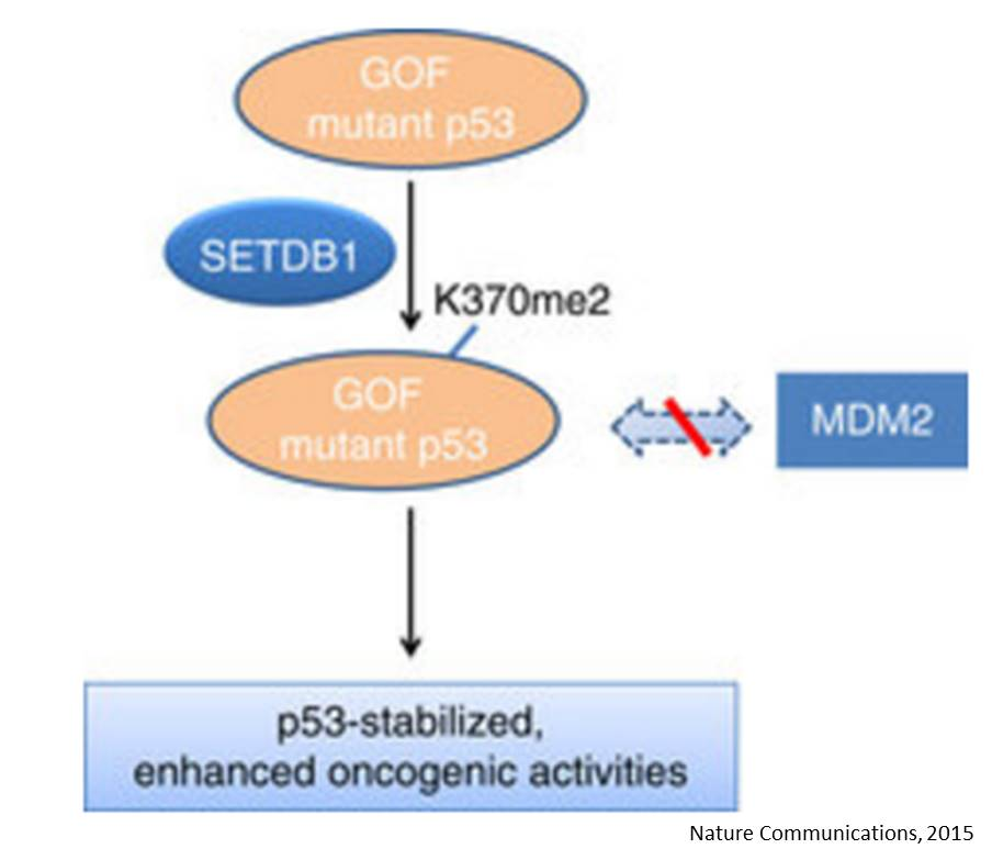Histone methyltransferase regulates liver cancer cell growth through methylation of p53