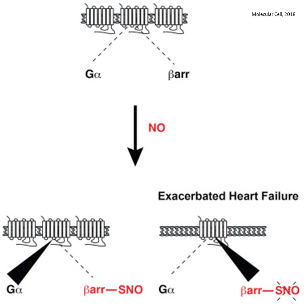 Heart disease severity may depend on nitric oxide levels