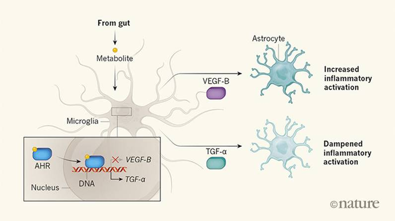 How microbial metabolite influences brain signaling to control neurologic disease