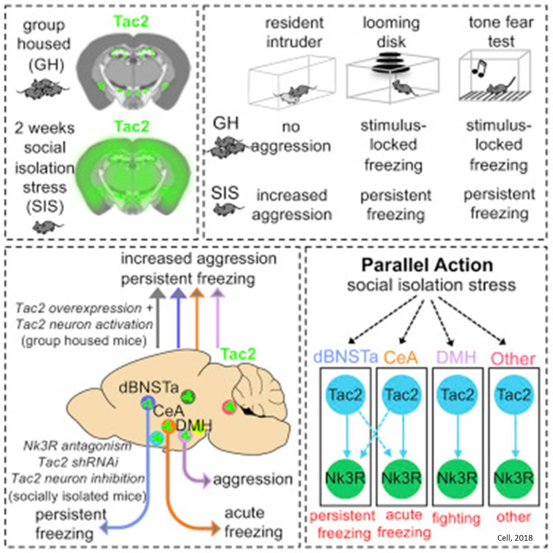 Brain signaling mechanism in social isolation induced stress