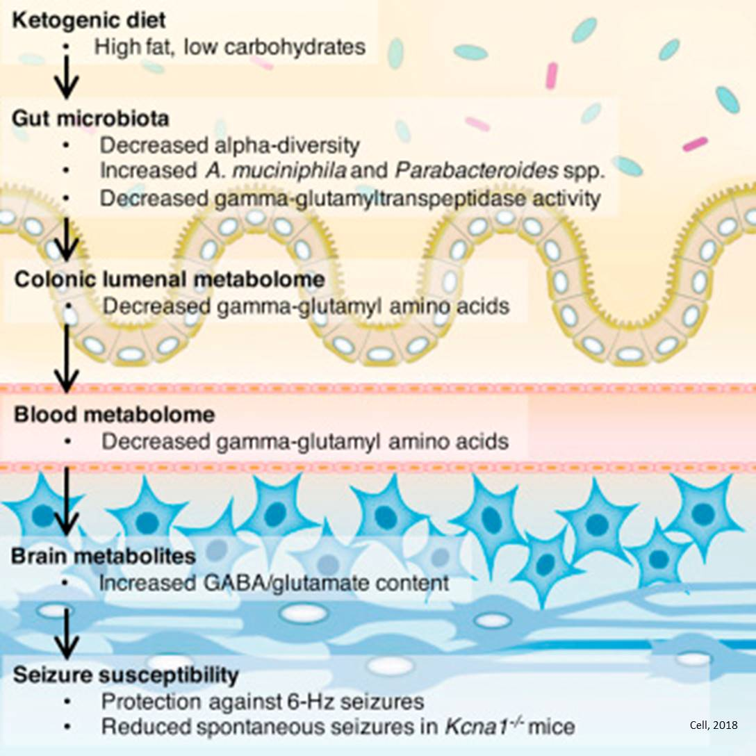 Anti-seizure effect of ketogenic diet linked to gut microbiome