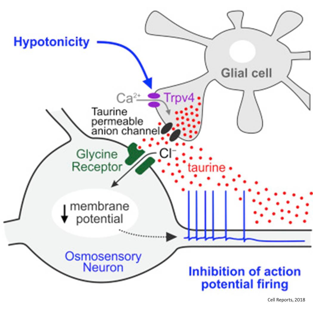 Glial cells sense overhydration first!
