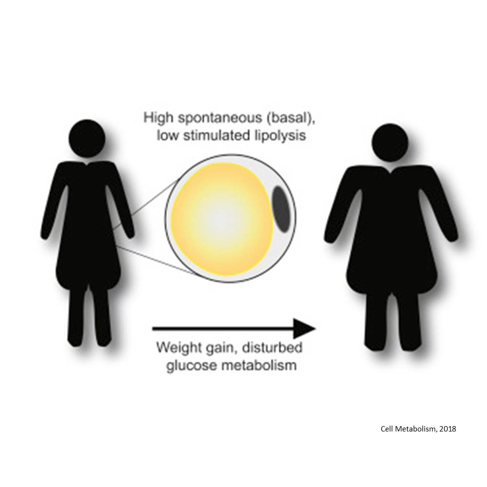 Inefficient fat metabolism a possible cause of overweight