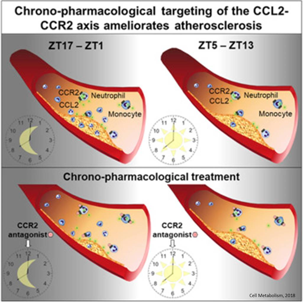 Circadian rhythm influences atherosclerosis