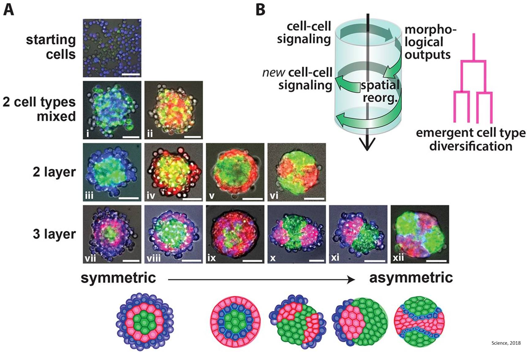 Cells self-organize into layers with synthetic cell-cell signaling