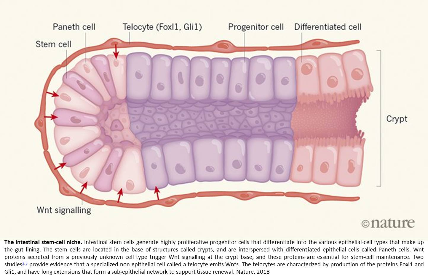 New understanding on stem cell niche in the intestine