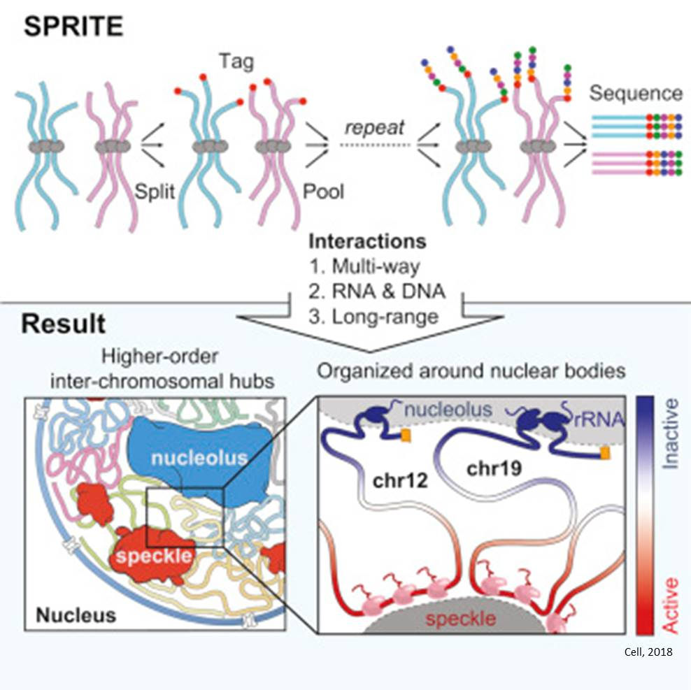 Studying the genome organization inside the nucleus