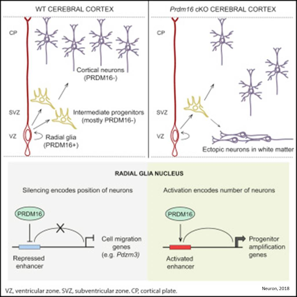 How neuronal cortical organization maintained?