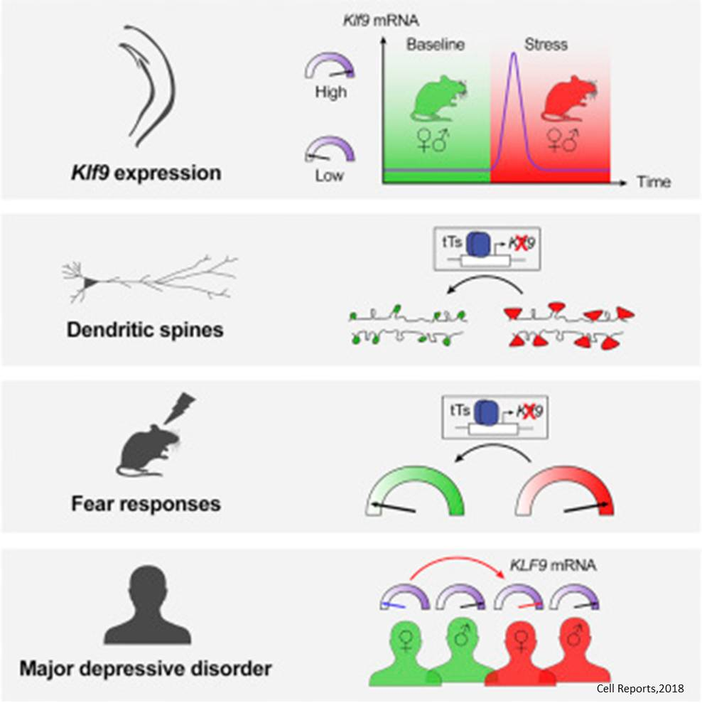 A transcription factor linked to stress