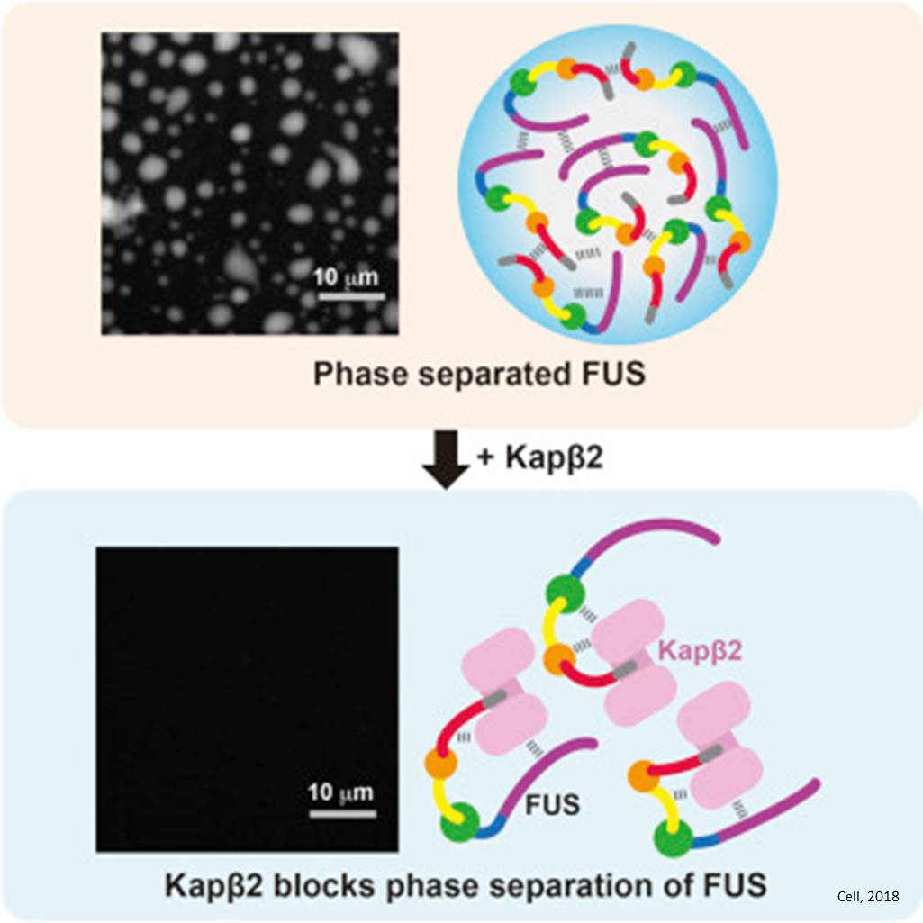 Nuclear transport protein prevents the aggregation of FUS