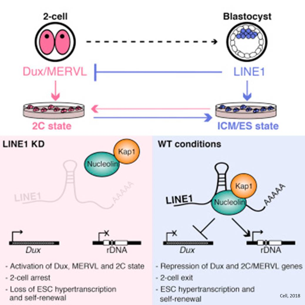 Jumping genes required for early embryo development!