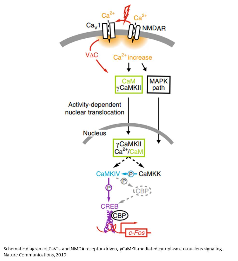 Mechanism of calcium-calmodulin mediated memory formation