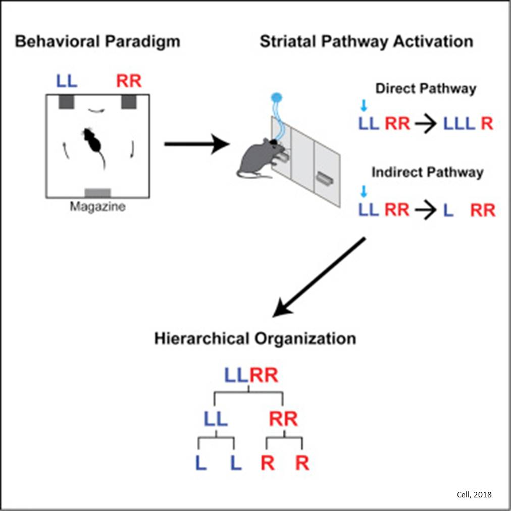 How brain organizes action into sequences?