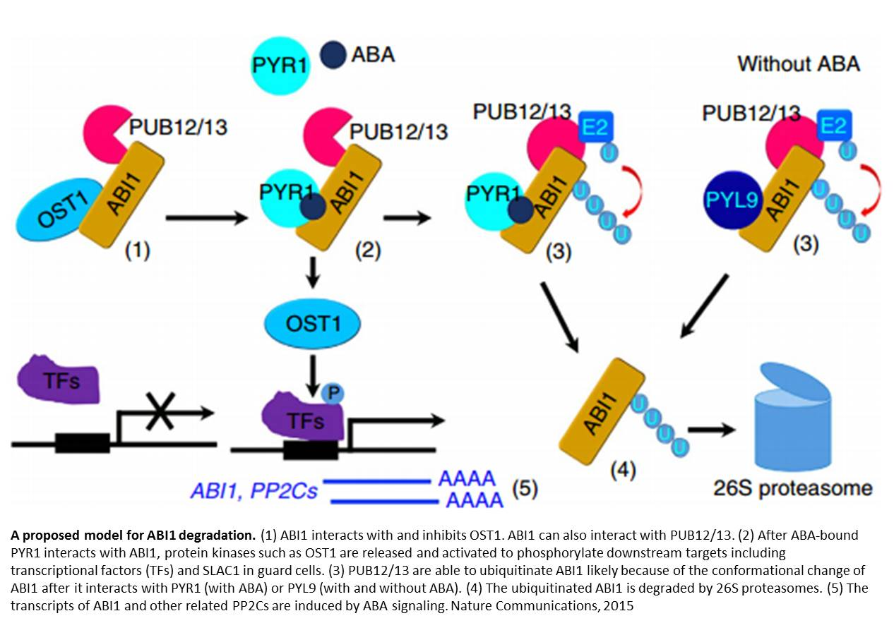 Newer mechanism to control abscisic acid signaling in plants
