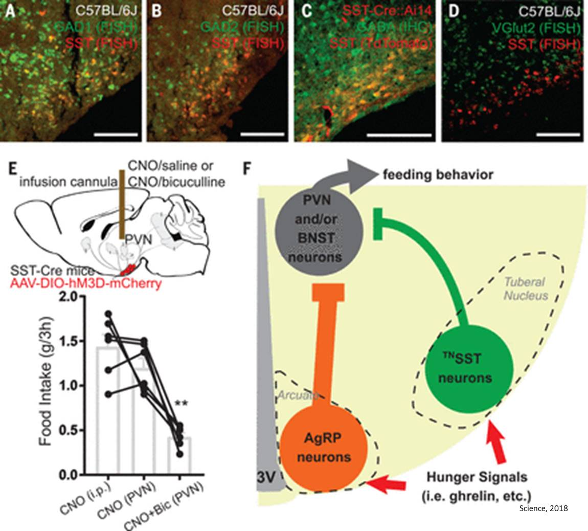 Neural circuit controlling hunger identified!