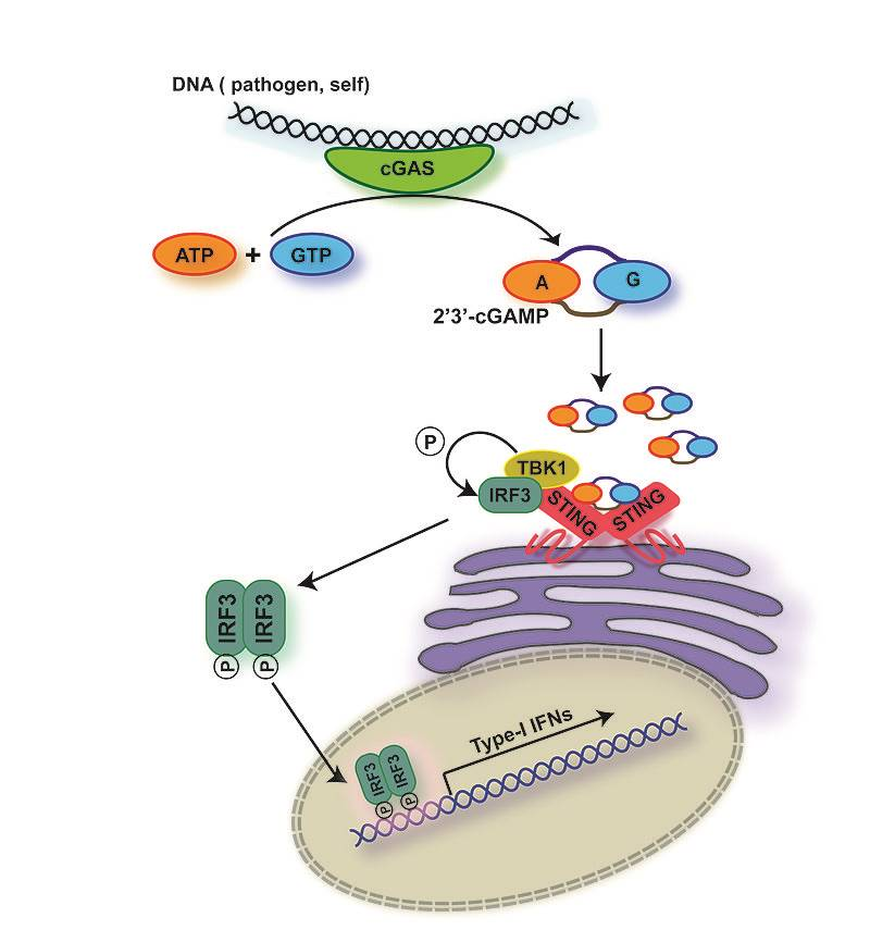 Mechanism of activation of innate immunity!