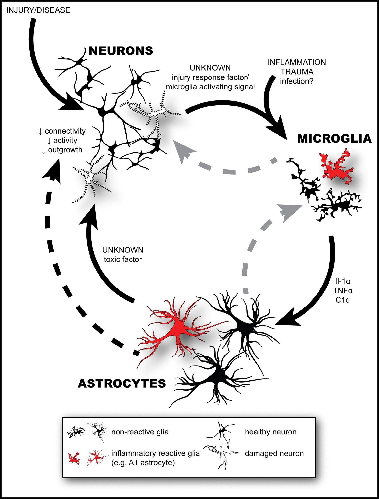 Experimental drug blocks reactive astrocyte formation in Parkinson's models