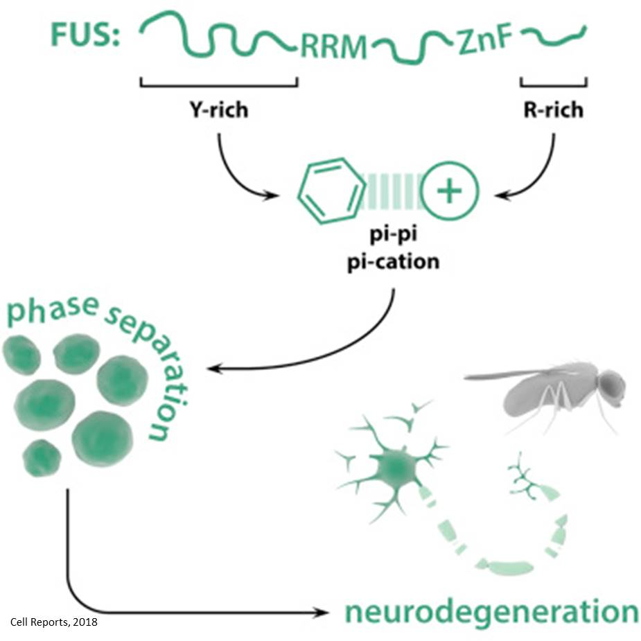 Mechanism of protein aggregation in ALS and FTLD