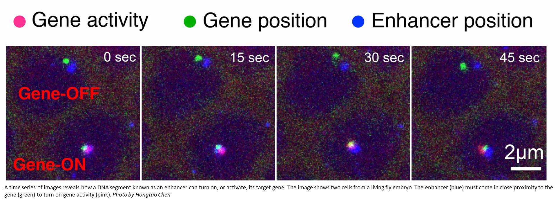 How 'junk DNA' switches on a gene is captured in live cells!