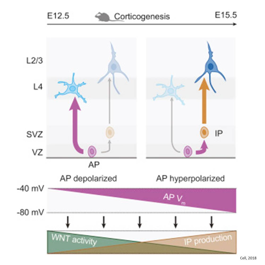 How stem cells to generate different types of neurons during embryogenesis?