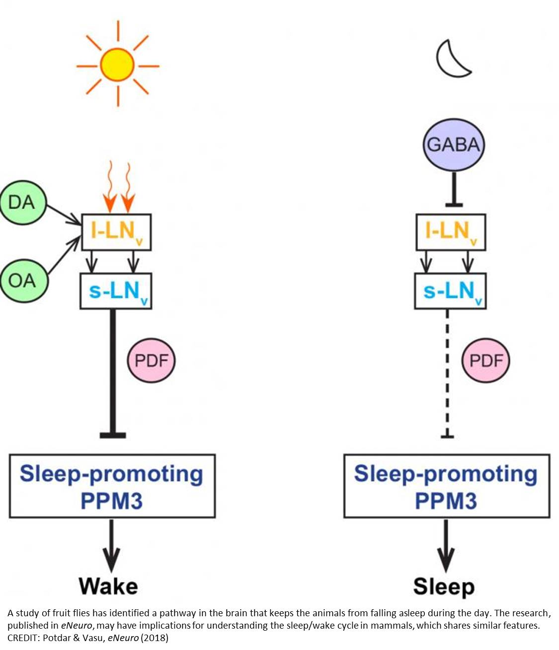 Neural pathway that keeps animals from falling asleep during the day