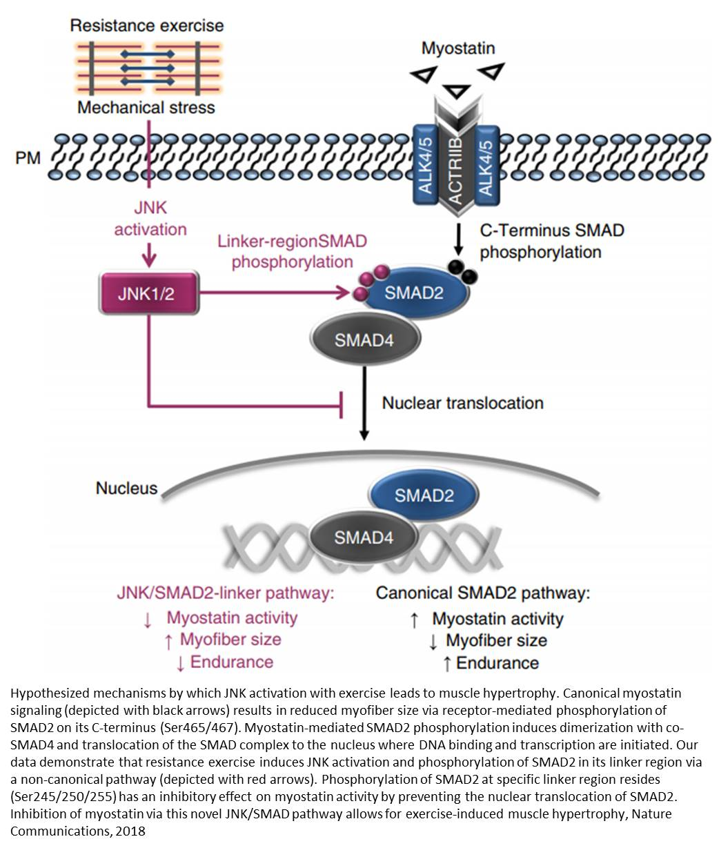 A biological pathway that boosts our ability to build aerobic capacity or muscle