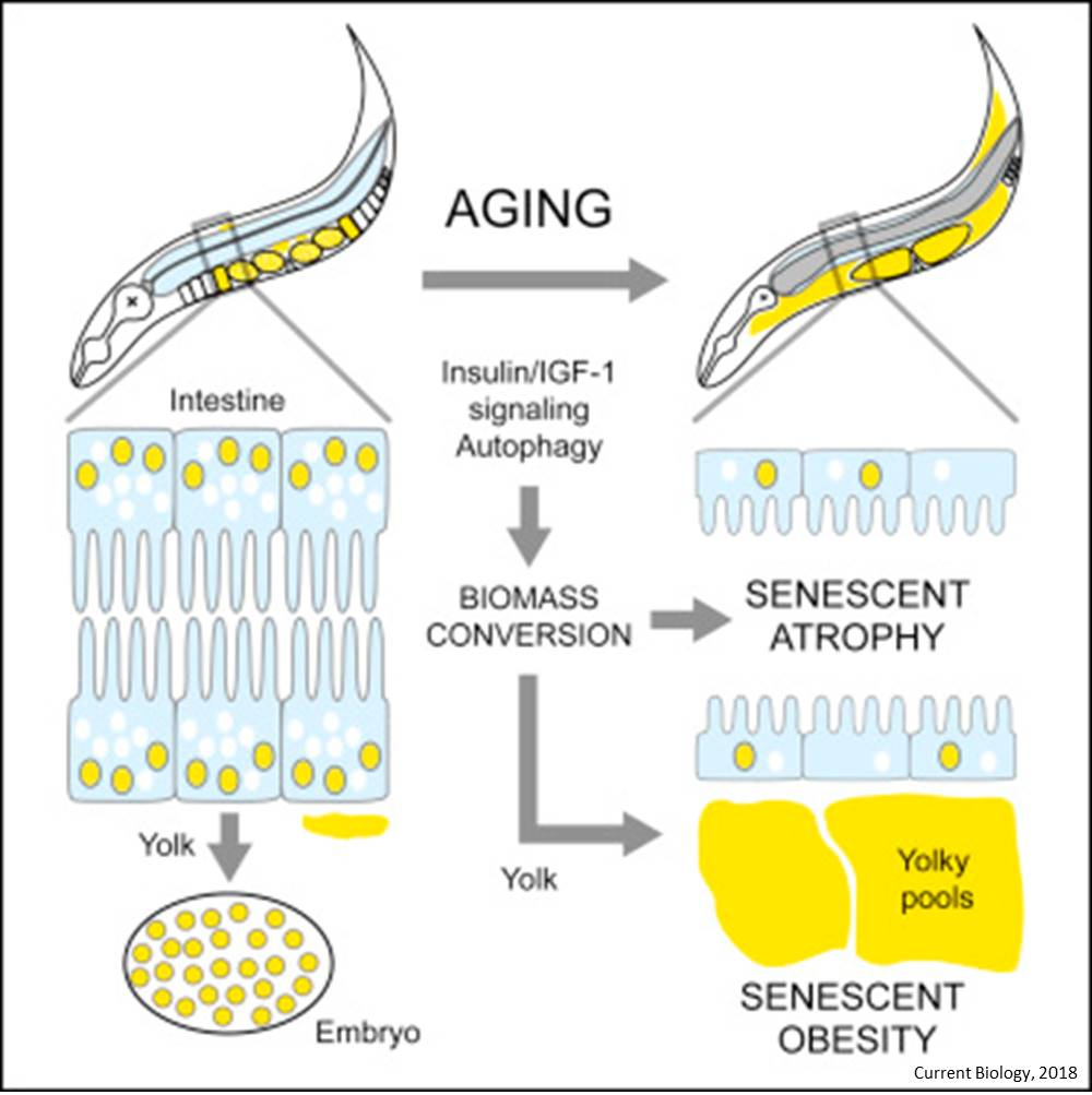 Genes drive aging, making normal processes damaging