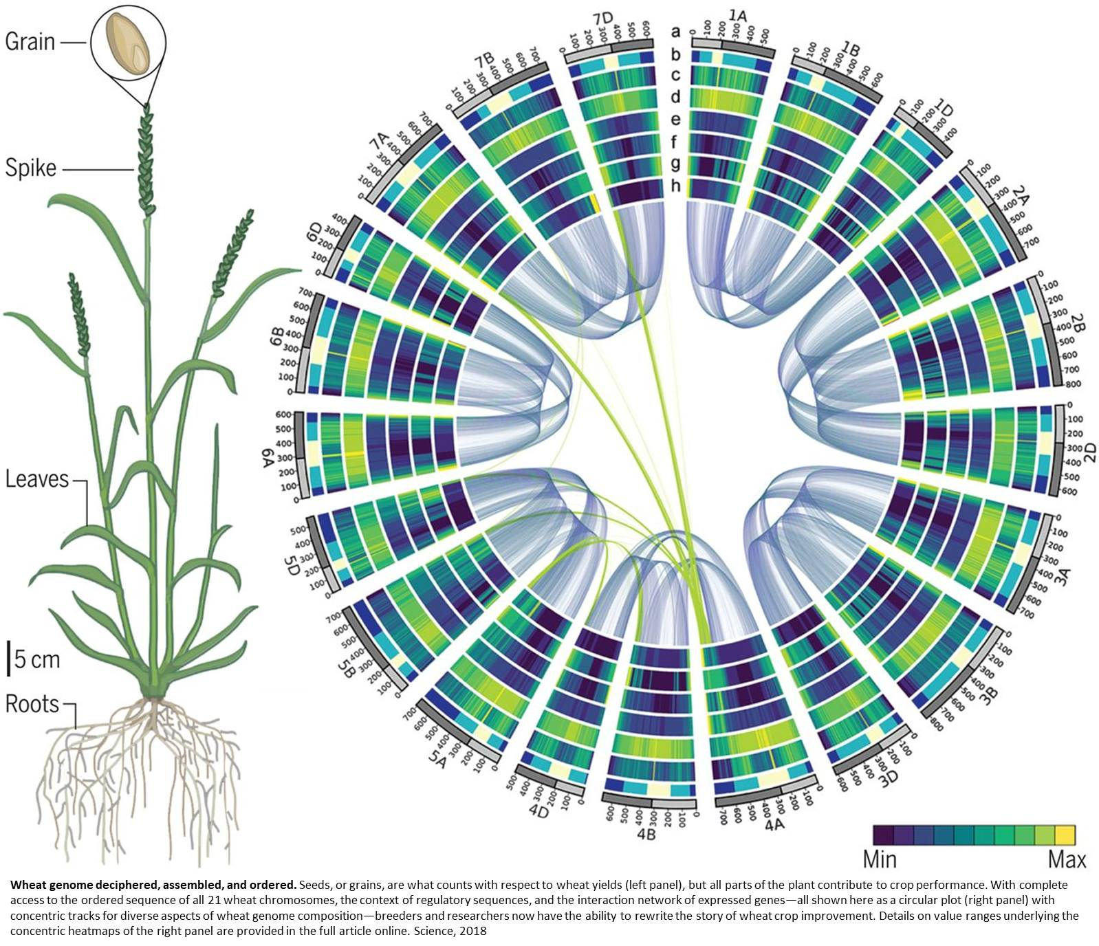 Genetic code for wheat unraveled for the first time