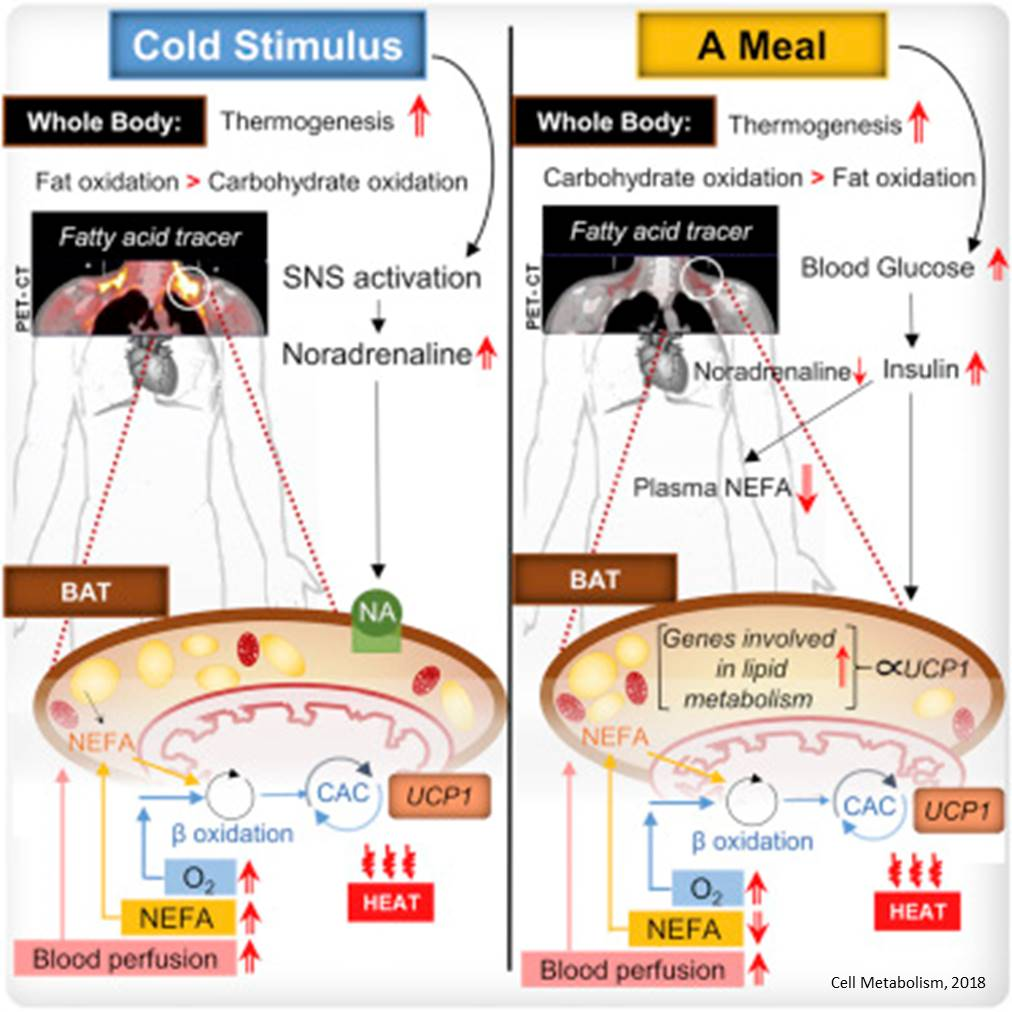 Carbohydrate-rich meal activates brown fat